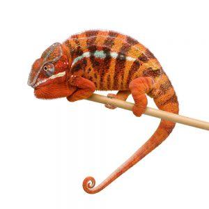 kameleon nie pomoże na zwalczanie gniazd os